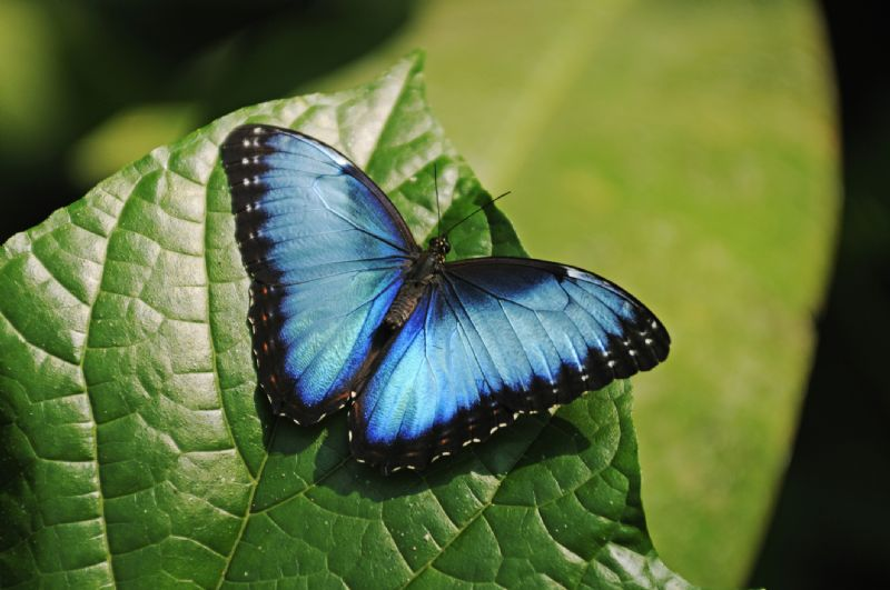 GettyImages 130851248BlueMorphobutterflylr - Sounds good to me, says Squeak
